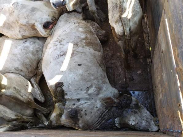 Furto de gado e maus tratos de animais autuados em Tatuí teria origem em Piraju